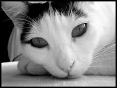 WHITE BEAUTY (sevgi_durmaz) Tags: white black cute beauty animals cat thinker pamuk beautifulcats happycats lovelycats whitebeauty enstantane bestofcats diamondclassphotographer flickrdiamond onlythebestare