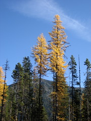 Golden larch (boobooatmit) Tags: golden larch