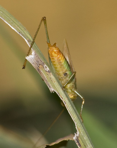 meadow katydid 1