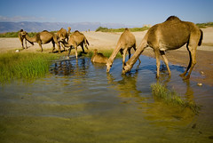 Oman Mirbat438 (jjay69) Tags: hot water town village gulf muslim islam middleeast arabic oman camels herd hamlet gcc islamic arabi wildanimals drinkingwater sultanateofoman dhofar mirbat dhofarregion muslimcountry battleofmirbat herdofanimals camelsdrinking marbat