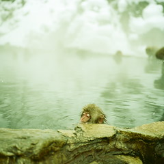 076 |  (Okano Yasushi) Tags: winter snow 120 6x6 mamiya film water japan analog mediumformat square monkey bath dof kodak spa portra snowmonkey 75mm portra160nc iso160 newmamiya6