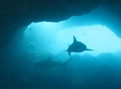 sharks circling in the cave (bluewavechris) Tags: ocean life blue sea water animal hawaii shark marine underwater diving maui snorkeling cave reef creature whitetip
