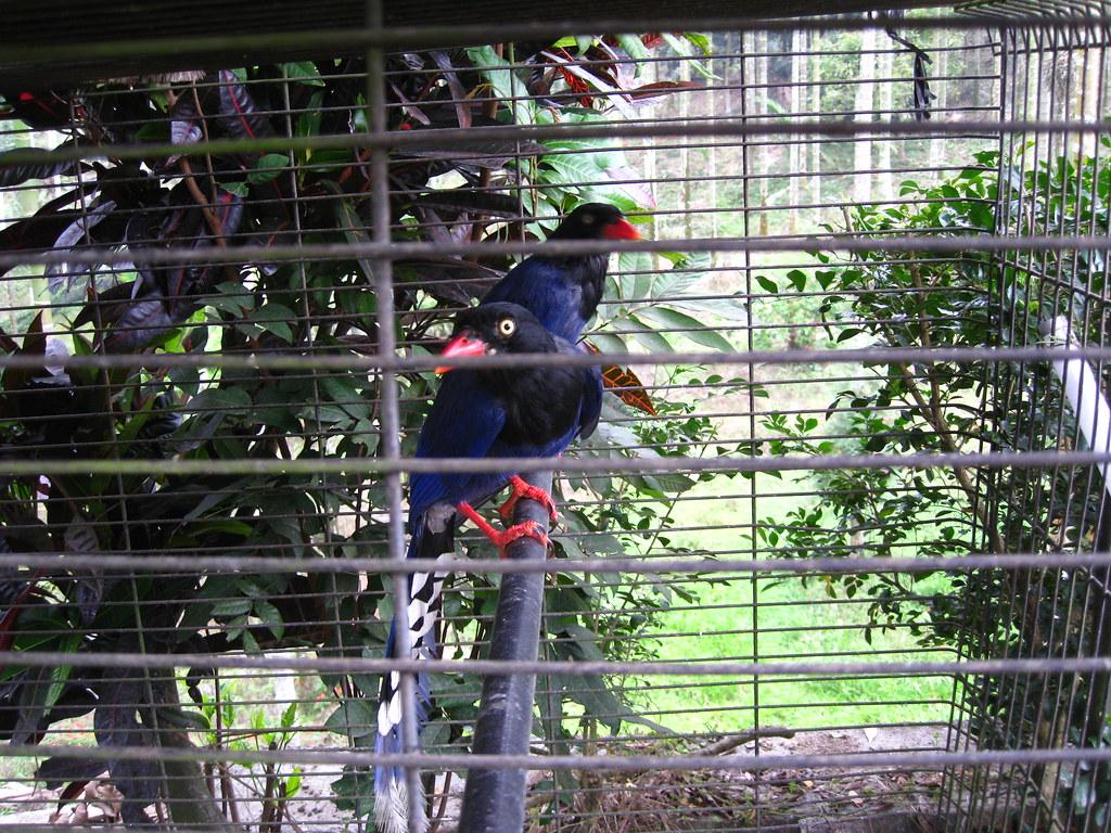 15 blue magpie (3)