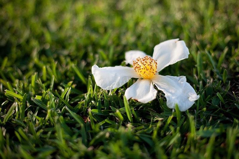 Gordonia blooms