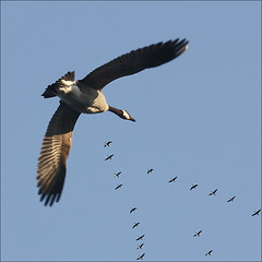 Wait for me, Honk, Honk Canada Geese flying home (NaPix -- (Time out)) Tags: lake canada nature birds canon skyscape geese quebec action wildlife south flock north flight goose formation explore v telephoto canadiangeese traveling migration honk migrating uplift migratingbirds honkhonk flyawayhome vshape explored exploretopten flyinginavformation canonef70200mmf4lisusm napix canoneosdigitalrebelxsi vosplusbellesphotos mexicocanadamigration uscanadamigration waitformehonkhonkcanadageeseflyinghome brandacanadensis