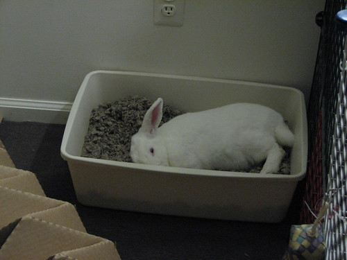 gus napping on his side in his litterbox