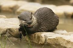 Otter (BB Ramone) Tags: nature water birds animals closeup washington zoom wildlife flamingo ducks otter sunderland washingtonwildfowlwetlandstrust nikond3100 nikonafs55300mmf4556gedvr