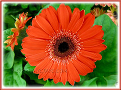 Gerbera jamesonii - dark orange rays with black central disk