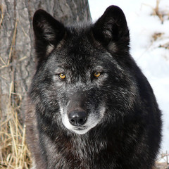 Watchful Eyes (njchow82) Tags: canada black calgary nature animal zoo wolf timber wildlife alberta animalportrait blueribbonwinner animaladdiction specanimal avisittothezoo incrediblenature worldofanimals naturewatcher dmcfz18 itsazoooutthere flickrbestpics flickrlovers naturescreations