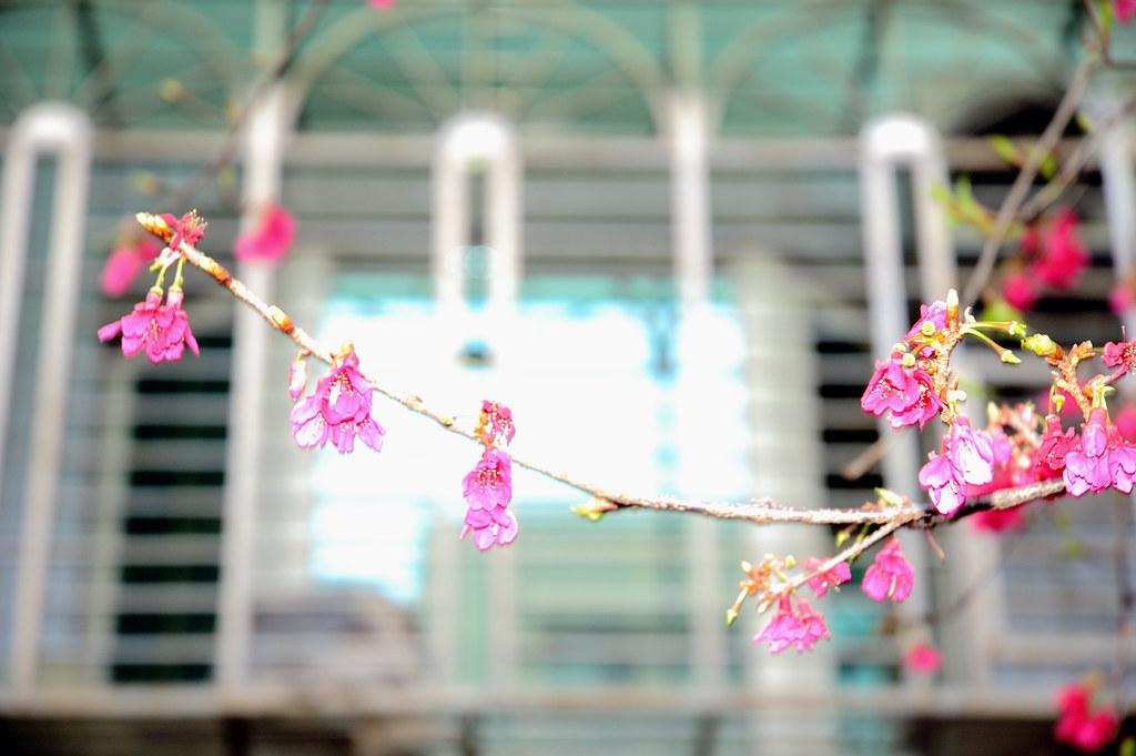 打開窗戶就能看到櫻花的感覺很不錯吧