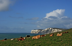 Weather lore - Cow forecasting (s0ulsurfing) Tags: ocean blue light sea england sky cliff cloud sunlight seascape green english nature water grass weather clouds composition rural downs landscape island bay coast countryside cow mar skies cows natural bright wind britain compton patterns farming shoreline peaceful bull cliffs coastal pasture shore vectis isleofwight cumulus coastline agriculture 2008 isle idyllic tranquil channel forecast englishchannel wight agricultural lore tennyson lamanche cumulusmediocris blueribbonwinner comptonbay forecasting tennysondown s0ulsurfing coastuk welcomeuk