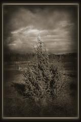 Juniper (Mack2) Tags: bw en sepia clouds photoshop spring photoshopped nd uppsala gras juniper ih vår moln gräs svartvitt sonya100 hågadalen