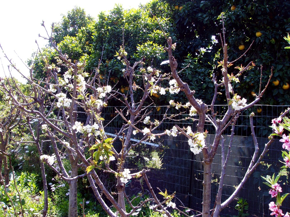 cherries_blooms_2008_2.jpg