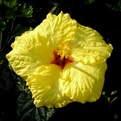 BJ494 Duke Gardens (listentoreason) Tags: usa plant flower nature closeup america newjersey unitedstates scenic favorites places olympus hibiscus greenhouse dukegardens dicot magnoliophyta angiosperm score30 olympusc4040z c4040z malvales