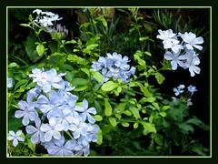 Plumbago auriculata (Blue/Cape Plumbago)