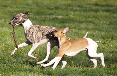 Whippets: Pluto & Quentin