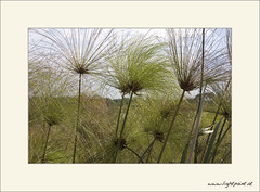 2005_DVD002_D70_Uganda_0031 (Michael Scharf) Tags: pflanzen afrika papyrus uganda