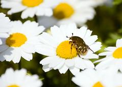 Flower Chafer (Hanamuguri ) Protaetia orientalis1 (pokoroto) Tags: nature japan fauna bug insect flora scenery  fukuoka fabulous jpn kyushu   iizuka   flowerchafer  hanamuguri nikonflickraward