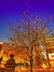 Cherry Blossom (/\ltus) Tags: japan lumix tokyo tripod panasonic cherryblossom nihonbashi hdr 3xp japanhdr dmcfx35