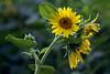 Sunflower (aZ-Saudi) Tags: sun flower green nature thread yellow landscape 50mm spider nikon arabic oasis sunflower saudi arabia d200 ksa foucs alhasa طبيعة الشمس زهور دوار superbmasterpiece arabin عنكبوت خيوط ِarabs