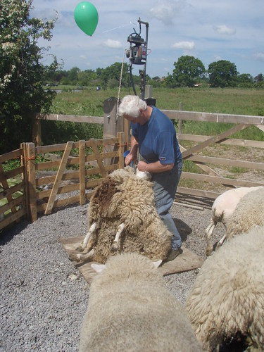 Sheep Shearing 9 by Hayzee C, on Flickr