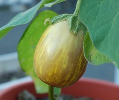 Grow an Easter Egg Plant