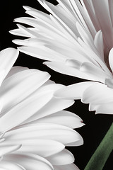(scottintheway) Tags: lighting pink white abstract black flower macro green daisies petals stem soft box background gerbera daisy strobe