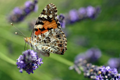 "vanessa cardui - ""vanesse des chardons"" ou ""belle dame"" (coucor1) Tags: macro nature animals butterfly papillon dame insecte chardon aplusphoto vanesse naturewatcher onephotoweeklycontest collectionnerlevivantautrement macroisnice spectacularmacro"