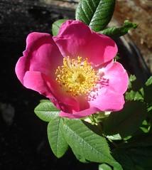 wild rose (langkawi) Tags: pink flower rose yellow ilovenature rosa langkawi naturesfinest blueribbonwinner supershot hundsrose anawesomeshot salveanatureza awesomeblossoms flickrfloresemacros