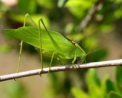 IMG_0069b (Feather fetish) Tags: katydid greengrasshopper