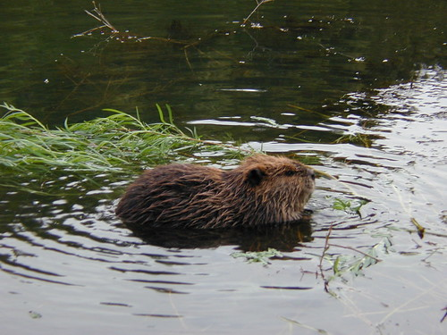 Beaver eating willow branches