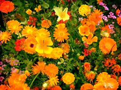 ...in all their glory. (Guy Wulf) Tags: flowers colour display summertime bouquet naturesfinest mywinners