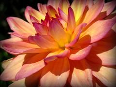 Fire Flower (ccurtiz) Tags: flower macro chicoca colorphotoaward canonpowershotsd950is