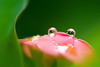 Baby don't cry (kktp_) Tags: pink flower macro green nature water droplets nikon bokeh refraction hbw d80 105mmf28gvrmicro ehbd
