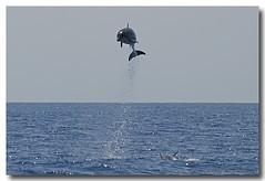 Tursiops truncatus (PedroMadruga) Tags: ocean sea wild mammal dolphin wildlife pico salto d200 azores açores breach golfinho cetaceo cetacean bottlenosedolphin tonina openocean roaz impressedbeauty pedromadruga southofpico toninhabrava suldopico