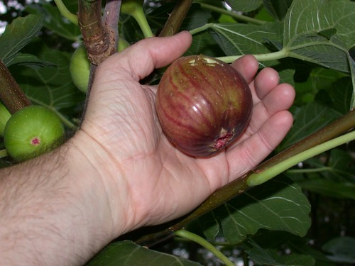 Monster fig