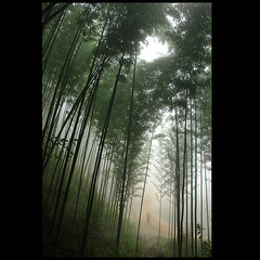 Tall young Bamboo (NaPix -- (Time out)) Tags: green nature fog forest magic bamboo vietnam explore vision bamb tre bambou sapa hmong tms bambus  bamboe tellmeastory firstquality tigeranddragon justimagine zarafa  atque  visiongroup  artificia  napix hmongmanwalking 3seasonseveryday
