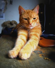 Bambino the Great (ziggywiggy1(SHELLIE B.)) Tags: fab orange pet cats cat fur feline paws fabulous breathtaking shiningstar furryfriends bambino damncool gingercats orangecats prettykitty hiddentreasure catssmalltobig crazycatpeople ourcatcompanions golddragon freephotos theloveshack kittysuperstar kissablekat velvetpaws kissablekitties exemplaryshots fromheartawards photokaleidoscope yourpreferredpicture stretchingcats leagueofwomenphotographers catmoments catsmeawww throughyoureyestoours showyourcattotheworld vividcats bestflickrphotography gattorockello goldenvisions softballoffluff catnipaddicts goldenaardvark