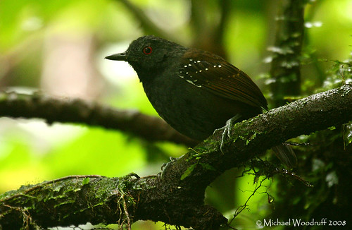 Dull-mantled Antbird by Michael Woodruff.