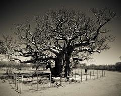 Boab Tree, Derby (C) 2008