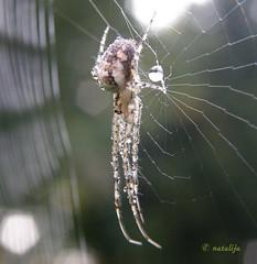 Jutranja rosa na pajku (natalija2006) Tags: nature forest spider cobweb slovenia spidersweb pajek natalija gozd narava supershot mywinners macromarvels excapturemacro ahqmacro npisec