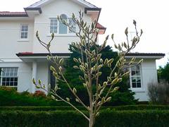 Magnolia (Sandy Austin) Tags: newzealand auckland magnolia northisland buds epsom panasoniclumixdmcfz5 sandyaustin
