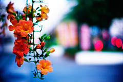 signs of September (moaan) Tags: life leica blue orange flower color digital 50mm evening flora crossing dof bokeh dusk f10 repetition m8 flowering noctilux dailylife 2008 signal hue ordinarylife eventide explored inlife leicam8 goldenbokeh leicanoctilux50mmf10 bokehwores gettyimagesjapanq1 gettyimagesjapanq2