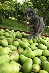 500lbs o' Pears (Bhlubarber) Tags: trees fruit cat river bc pears market okanagan farm grow orchard valley beast block local diet pick parsons tabitha bartlett similkameen keremeos davidniddrie welcometokelowna lpagriculture