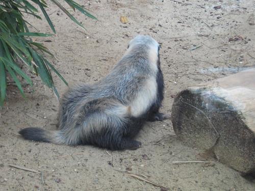 Honey badger in Haifa zoo..