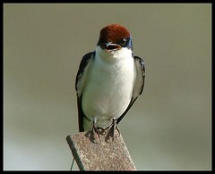 Wire tailed Swallow! (Abhishek unplugged!) Tags: naturesfinest hirundinidae wiretailedswallow hirundosmithii specanimal mywinners avianexcellence natureselegantshots sonydsch50