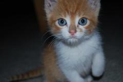 """Mono"" (CAUT) Tags: cat nikon kitten colombia kittens gato meow katze miau d60 gaticos gatico blueribbonwinner nikond60 bestofcats boc0908"