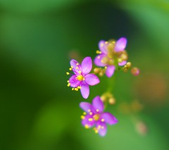 /Talinum triangulare (nobuflickr) Tags: flower macro nature japan kyoto kiyamachi macrophotosnolimits themacrogroup goldstaraward talinumtriangulare