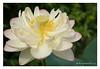 DSCF0690 (Andrea Gazzarrini Photo) Tags: flower fiore aquaticplants nelumbo nelumbium fiorediloto pianteacquatiche nikon50mmf14 estatesummer fiordiloto flowerlotussacredlotus nelumbonuciferaflower andreagazzarrini