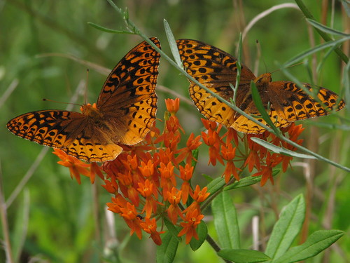 Butterflies on what else, . . . Butterfly Weed